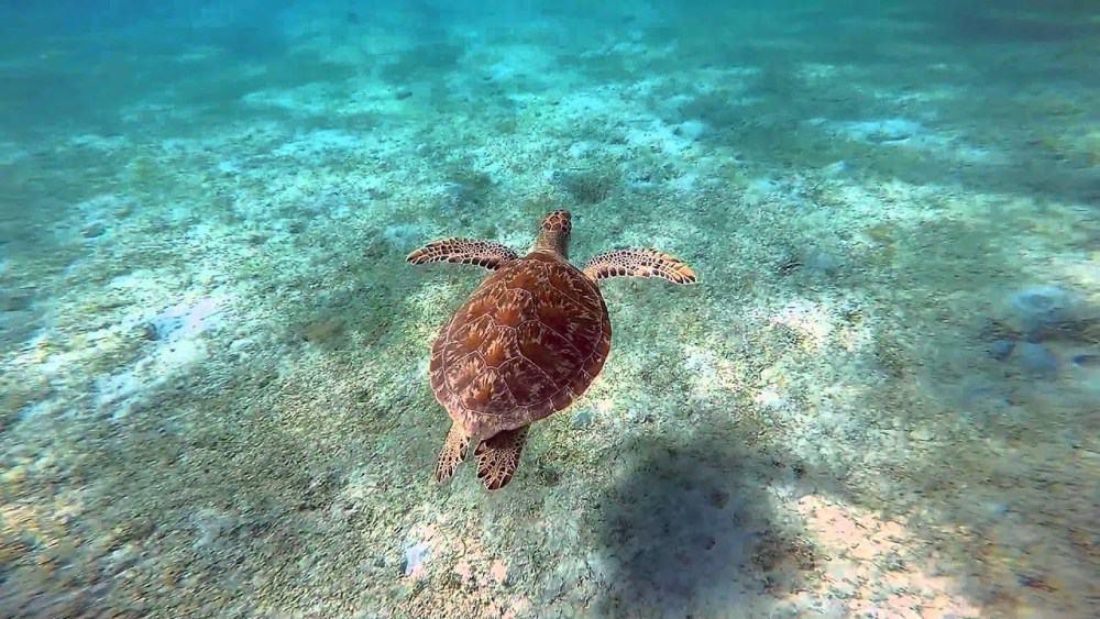 Turtle Culebra, Puerto Rico