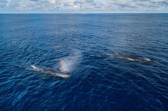Whales in clean Ocean