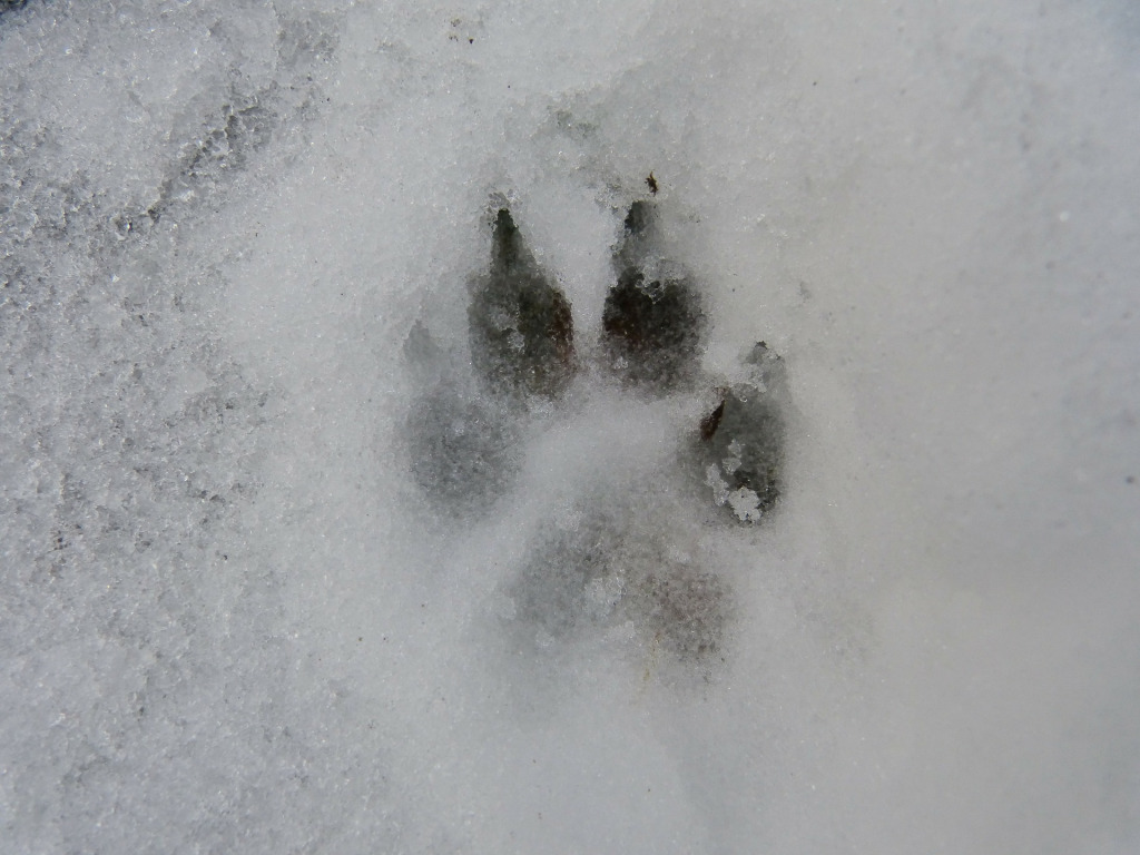 animal trace in snow
