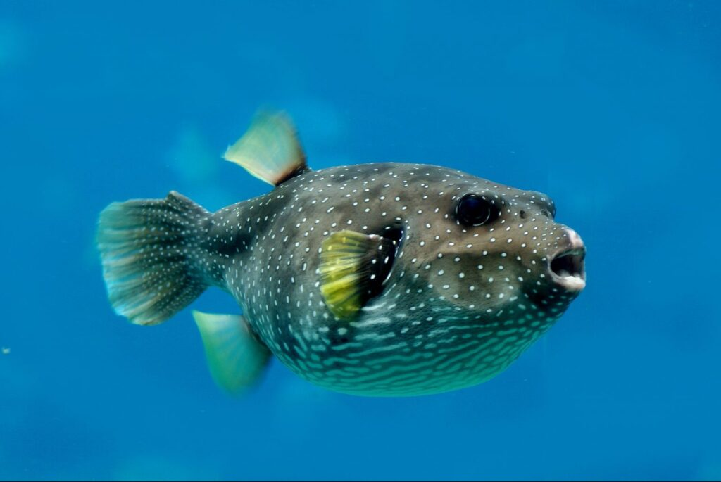 Most poisonous fish pufferfish