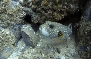 The most poisonous fish – Pufferfish